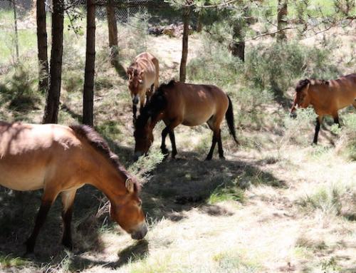 La Reserva de Boumort es converteix en l'únic lloc de Catalunya amb exemplars de cavall salvatge o de Przewalski